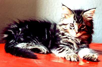 Agamemnon the Fabulous, Maine Coon black-classic-tabby