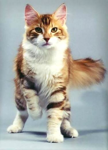 Tabby cat with white paws and chest