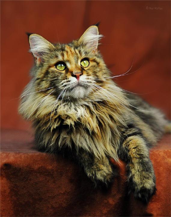 rassebeschreibung maine coon katze cat kat poes katt. Black Bedroom Furniture Sets. Home Design Ideas