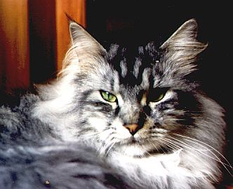 Alberich the Fabulous, Maine Coon